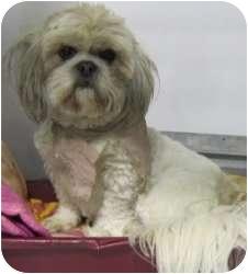 Lhasa Apso Mix Dog for adoption in Kansas City, Missouri - A12788604