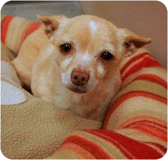 Chihuahua Dog for adoption in Phoenix, Oregon - Pammie