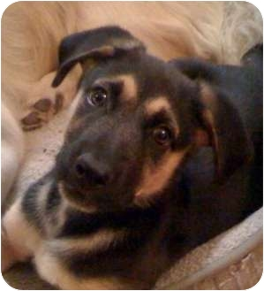German Shepherd Dog Mix Puppy for adoption in Dripping Springs, Texas - Anni