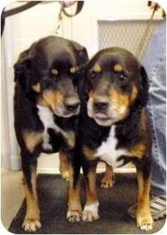 Bernese Mountain Dog/Shepherd (Unknown Type) Mix Dog for adoption in Council Bluffs, Iowa - Sugar