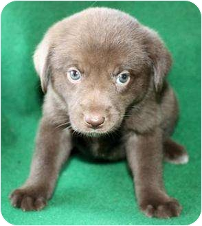 Labrador Retriever Puppy for adoption in Zanesville, Ohio - Jazzy