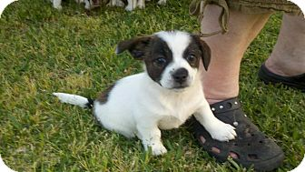 Rat Terrier/Lhasa Apso Mix Puppy for adoption in Bakersfield, California - Minnie