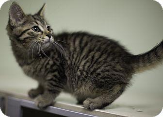 Domestic Shorthair Kitten for adoption in Murphysboro, Illinois - Wall-E