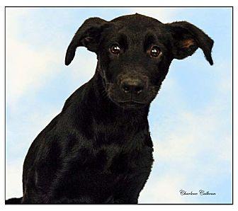 Shepherd (Unknown Type)/Labrador Retriever Mix Dog for adoption in Newland, North Carolina - Jojo