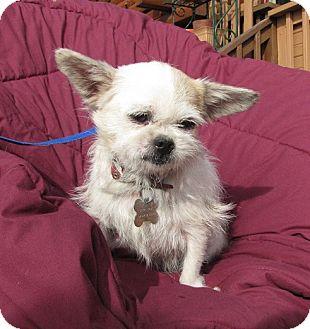 Chihuahua Mix Dog for adoption in Oakland, Arkansas - Yoshi