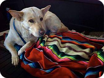 Shepherd (Unknown Type)/Golden Retriever Mix Dog for adoption in Boca Raton, Florida - Nellie