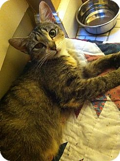 Domestic Shorthair Cat for adoption in Fredericksburg, Virginia - Abby