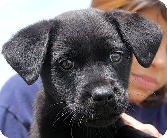 Labrador Retriever Mix Puppy for adoption in Pewaukee, Wisconsin - Nellie