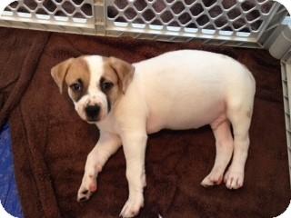 Australian Cattle Dog Mix Puppy for adoption in Dallas, Texas - Graham