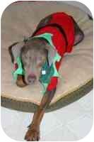 Doberman Pinscher Dog for adoption in Arlington, Virginia - Denver