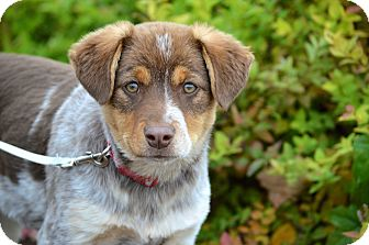 Australian Shepherd Mix Puppy for adoption in Salem, New Hampshire - PUPPY CRICKET