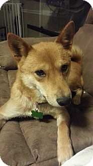 Shiba Inu Dog for adoption in Loveland, Colorado - Kayo