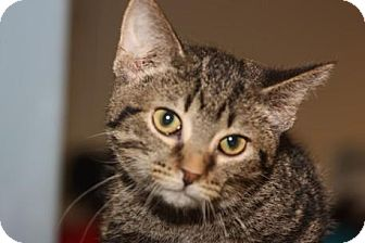 Domestic Shorthair Cat for adoption in Mt. Pleasant, Michigan - Issa