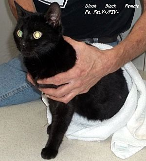 Domestic Mediumhair Cat for adoption in Hazard, Kentucky - Dinah