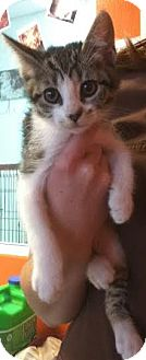 Domestic Shorthair Kitten for adoption in Westminster, California - Chong