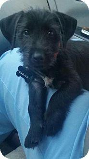 Terrier (Unknown Type, Small)/Schnauzer (Miniature) Mix Puppy for adoption in Homer, New York - Blackjack