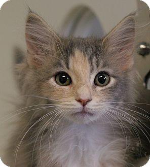 Domestic Mediumhair Kitten for adoption in Staunton, Virginia - Mouse