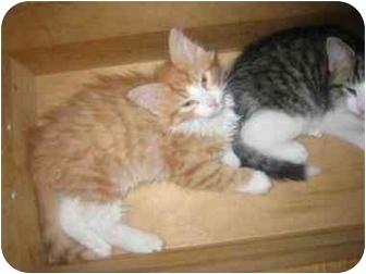 Domestic Longhair Cat for adoption in Blacksburg, Virginia - Falco
