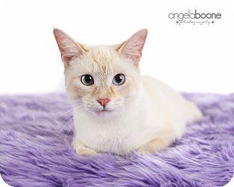 Domestic Shorthair Cat for adoption in Eagan, Minnesota - Layla