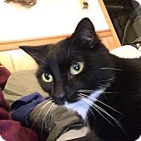 Adopt A Pet :: Boots - Plattekill, NY