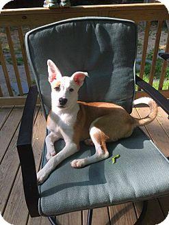 Terrier (Unknown Type, Medium)/Labrador Retriever Mix Puppy for adoption in North Brunswick, New Jersey - sassy
