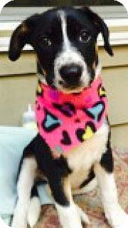 Shepherd (Unknown Type)/Labrador Retriever Mix Puppy for adoption in Brattleboro, Vermont - Jessi