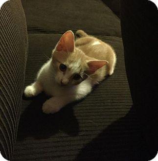 Domestic Mediumhair Kitten for adoption in Glen Mills, Pennsylvania - Chili