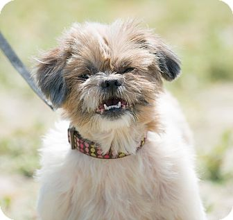 Shih Tzu Mix Dog for adoption in Poway, California - AMBER