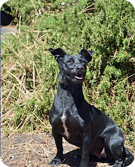 Chihuahua/Dachshund Mix Dog for adoption in Mountain Center, California - Sphinx