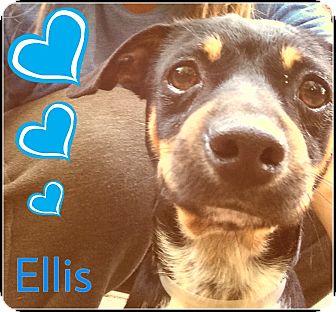 Dachshund/Rat Terrier Mix Dog for adoption in Boston, Massachusetts - Ellis