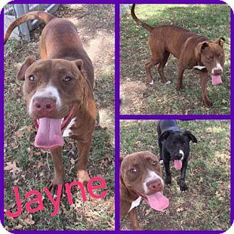 Pit Bull Terrier/Australian Cattle Dog Mix Dog for adoption in Alvarado, Texas - Jayne