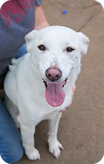 Spitz (Unknown Type, Medium)/Spitz (Unknown Type, Medium) Mix Dog for adoption in Hershey, Pennsylvania - Lacey