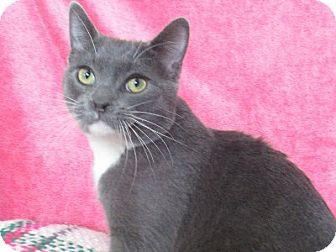Domestic Shorthair Cat for adoption in Lloydminster, Alberta - Fonzy