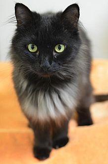 Domestic Mediumhair Cat for adoption in Atlanta, Georgia - Black Angel162059