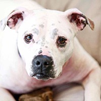 Pit Bull Terrier Mix Dog for adoption in Germantown, Ohio - Sugar