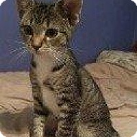 Domestic Shorthair Kitten for adoption in Hampton, Virginia - PRUDANCE