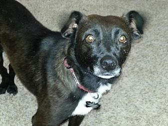 Chihuahua Mix Dog for adoption in Albuquerque, New Mexico - Turbo