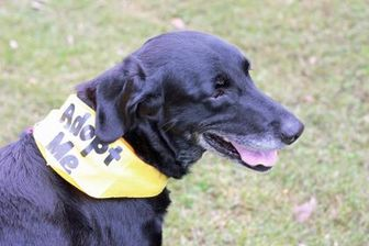 Labrador Retriever Mix Dog for adoption in Greenville, North Carolina - Cookie -Senior 4 Senior