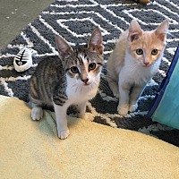 Adopt A Pet :: Honey - Butner, NC