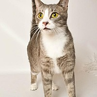 Domestic Shorthair Cat for adoption in Wyandotte, Michigan - Sprout