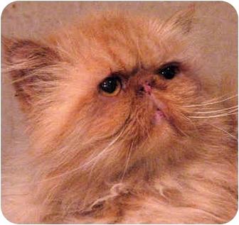 Persian Cat for adoption in Davis, California - Dee Dee