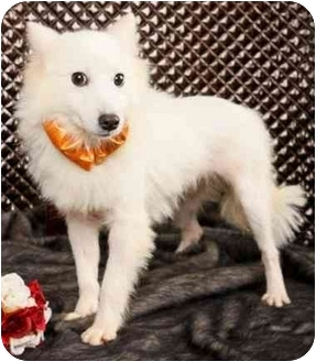 Spitz (Unknown Type, Small) Dog for adoption in Encino, California - LUCY (Japanese Spitz)