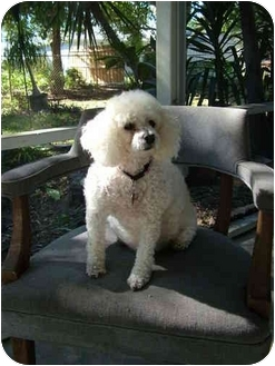 Miniature Poodle Dog for adoption in Melbourne, Florida - DIVA