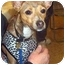 Photo 4 - Italian Greyhound Mix Dog for adoption in Overland Park, Kansas - Delilah