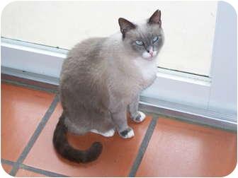 Siamese Cat for adoption in Naples, Florida - Jeffrey