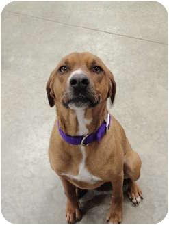 Hound (Unknown Type)/Rhodesian Ridgeback Mix Dog for adoption in Lake Odessa, Michigan - Mollee
