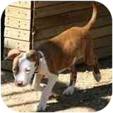 Pit Bull Terrier/American Pit Bull Terrier Mix Puppy for adoption in Northridge, California - Pit Bull Puppies