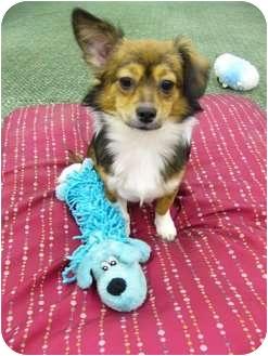 Papillon/Pomeranian Mix Dog for adoption in Mocksville, North Carolina - Juliet