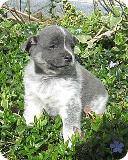 Australian Shepherd Mix Puppy for adoption in Allentown, Pennsylvania - Rascal