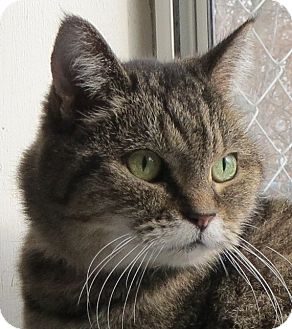 Domestic Shorthair Cat for adoption in Geneseo, Illinois - Bitsi